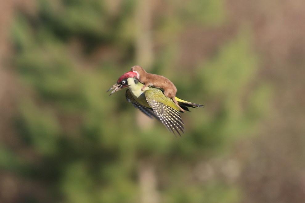02-woodpecker-weasel.jpg